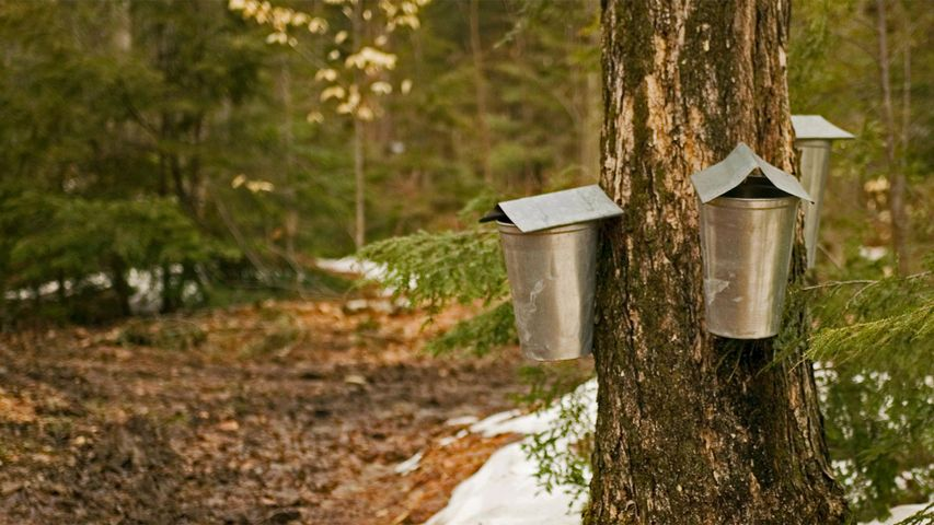 Sap-collecting buckets in Brome-Missisquoi, Quebec
