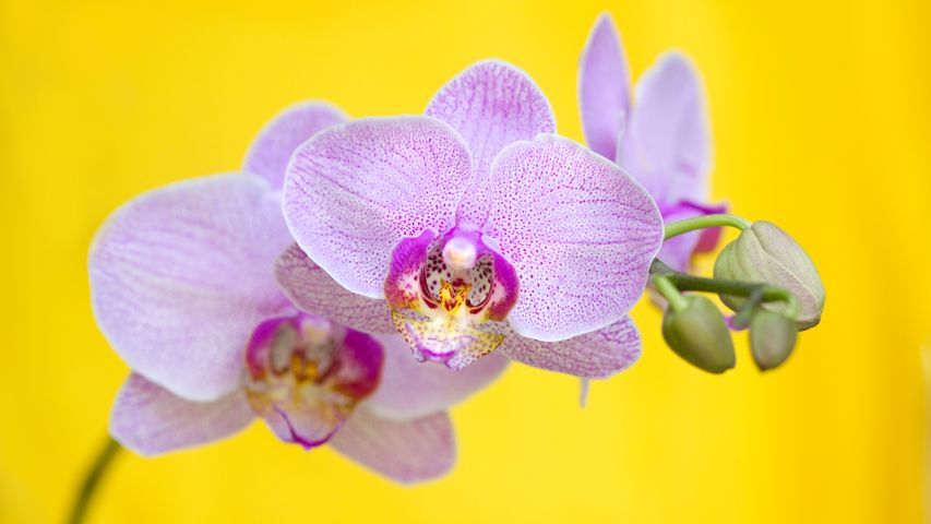 plant flower orchids of the philippines moth orchid phalaenopsis equestris christmas orchid orchid phalaenopsis sanderiana