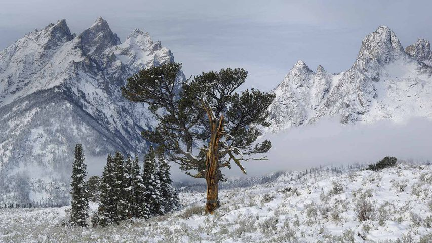 The Old Patriarch Tree of Grand Teton National Park, Wyoming