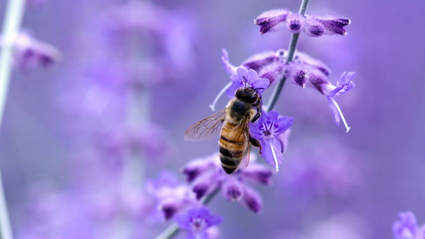 bee lavender insect invertebrate flower plant pollinator animal