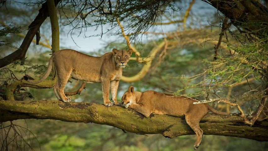 Female lions in the forest surrounding Lake Nakuru, Kenya