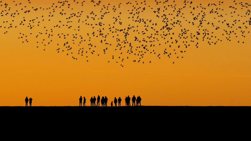 Starlings during the autumn migration