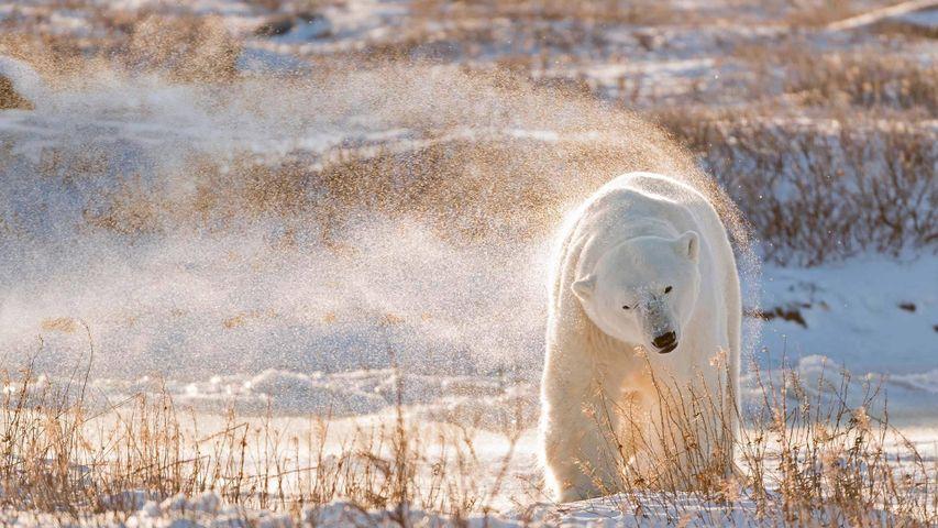哈德逊湾的北极熊,加拿大