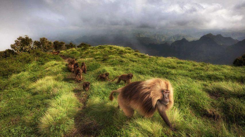 Geladas en el parque nacional de Simen, Etiopía
