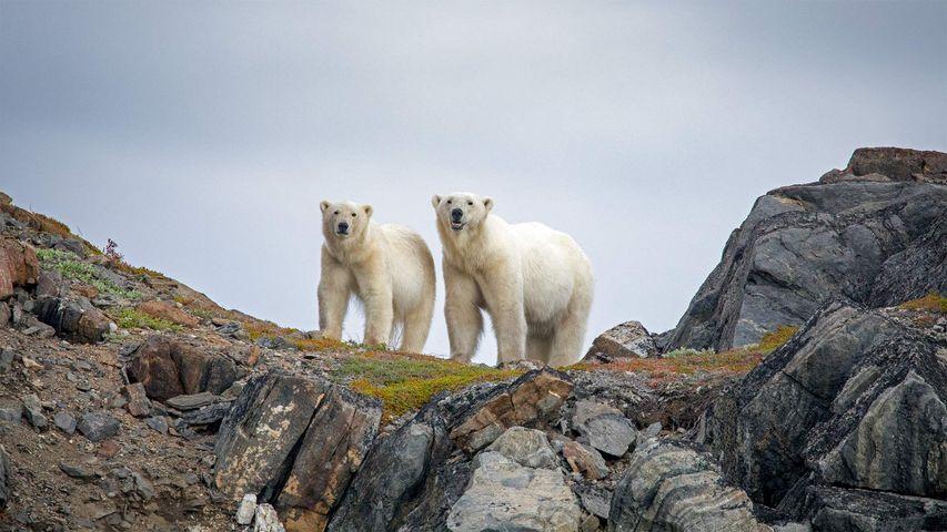 Eisbären im Torngat-Mountains-Nationalpark, Kanada