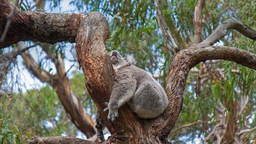 「爆睡コアラ」オーストラリア