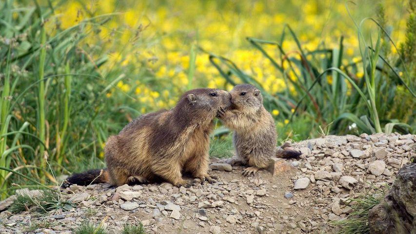 Une marmotte et son petit à l'occasion de la fête des Mères en France