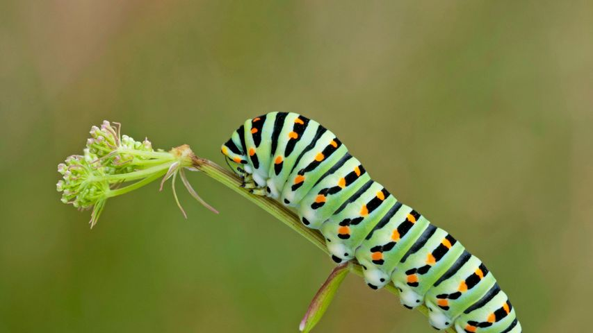 Old world swallowtail caterpillar for World Book Day
