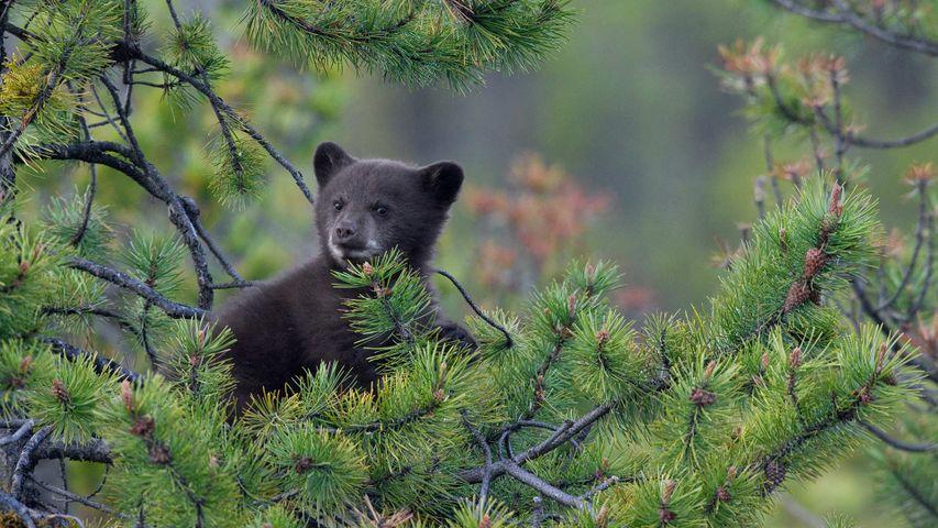 A Black Bear (Ursus americanus) cub in a pine tree, Jasper National Park, Alta.