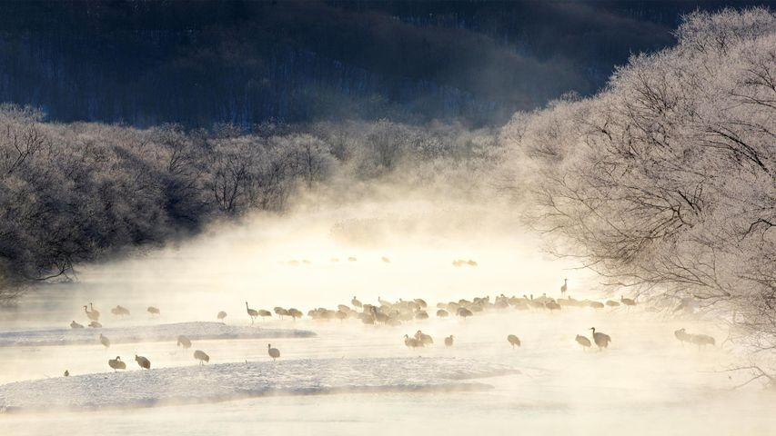 薄雾笼罩的河流中的丹顶鹤,日本北海道