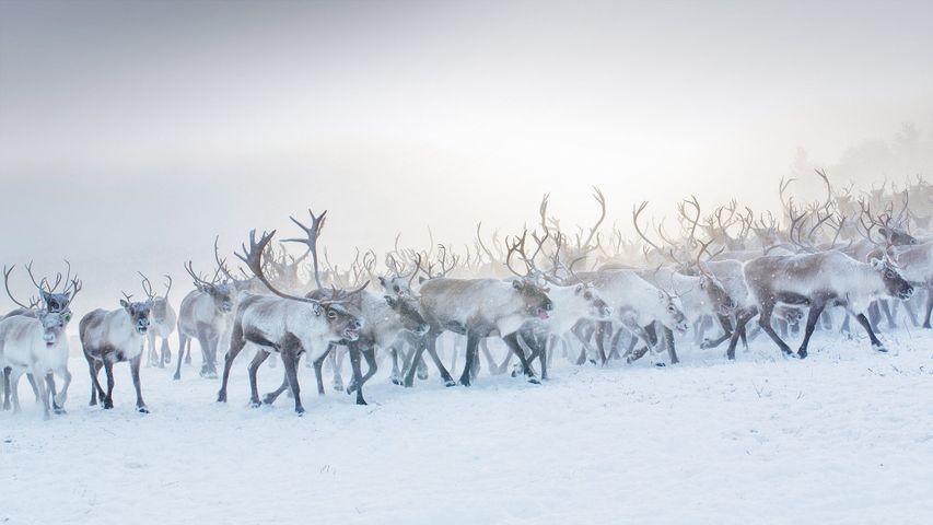A herd of reindeer in Norway