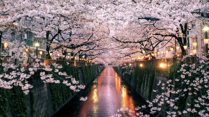 Cherry blossoms over the Meguro River, Tokyo, Japan