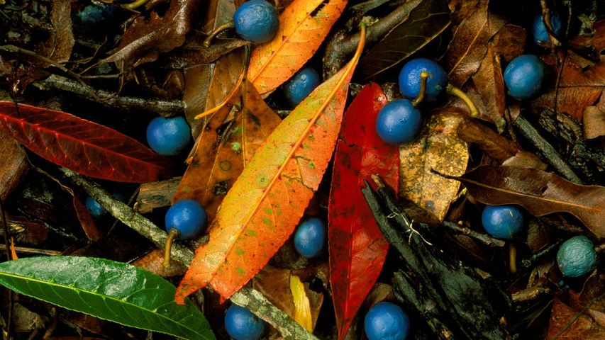Blue quandongs and colourful leaves on subtropical rainforest floor, Currumbin Creek Valley
