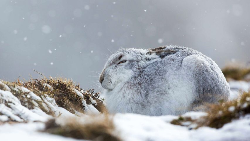 A mountain hare hunkers down in a snow storm, the Cairngorms