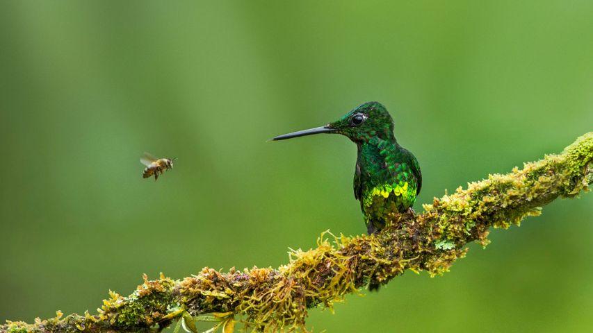 皇辉蜂鸟和蜜蜂,哥伦比亚