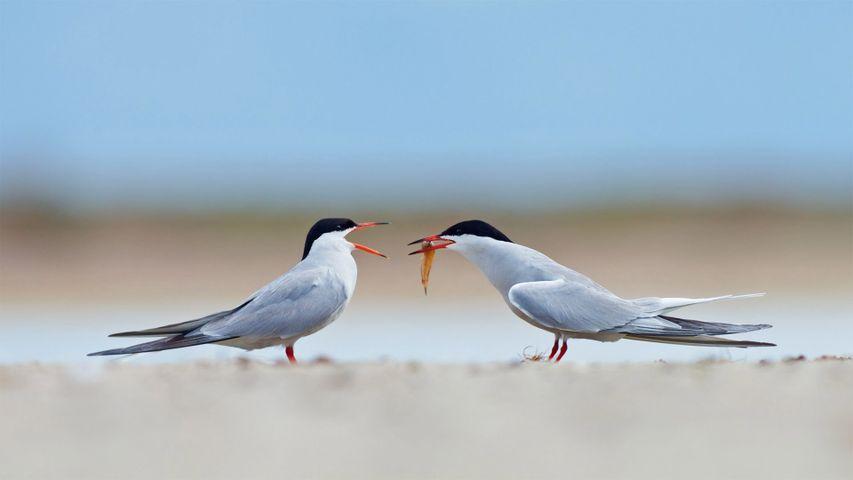 Common terns sharing a small fish