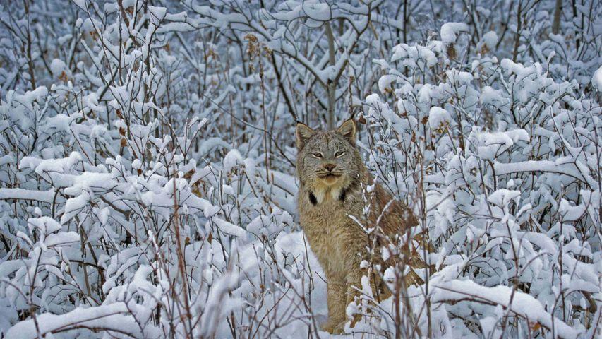 Canada lynx in Montana, USA