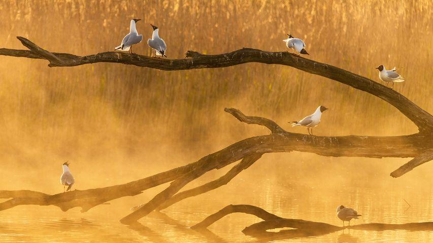 La Brenne的海鸥,法国