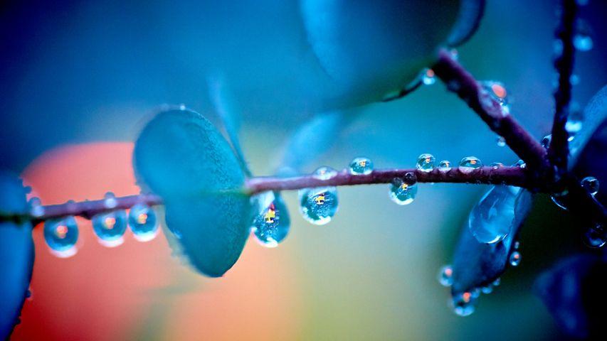 「雨上がりのユーカリの木」広島