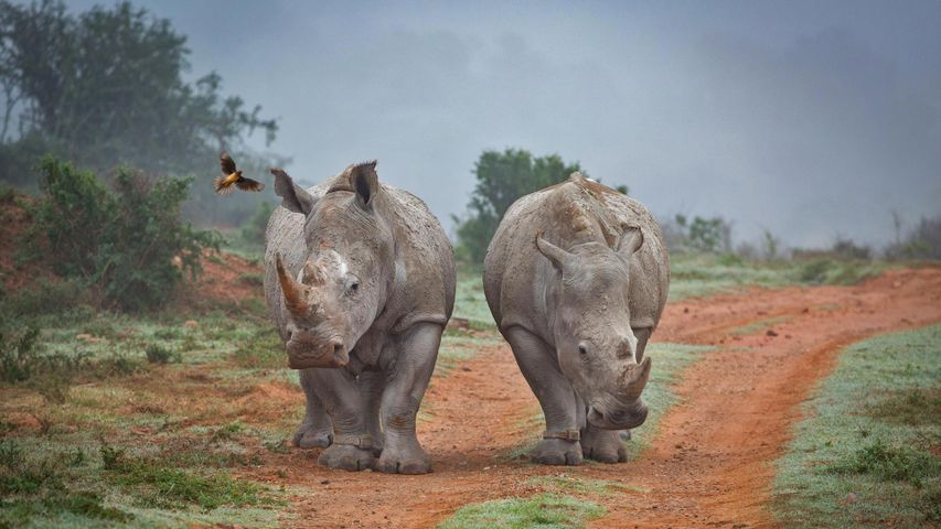 Two rhinos and an oxpecker bird in the Amakhala Game Reserve in South Africa