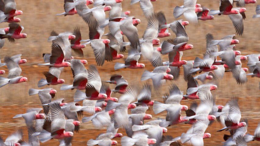 Galah (Eolophus roseicapilla) flock flying in Western Australia