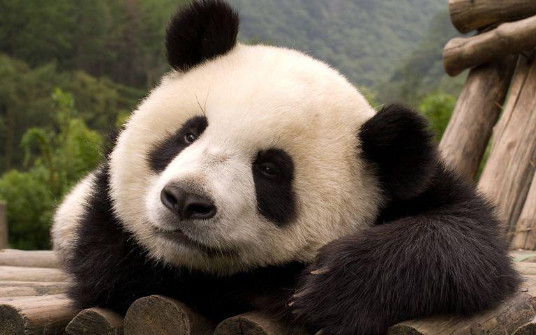 China Panda Bears Windows 10 Theme