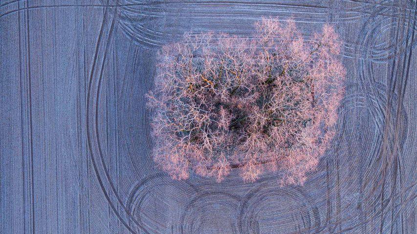 Warmes Licht der aufgehenden Morgensonne auf mit Frost bedeckten Bäumen auf einem Feld bei Jacobsdorf, Brandenburg, Deutschland