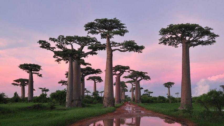 Grandidier's baobab forest near Morondava, Madagascar
