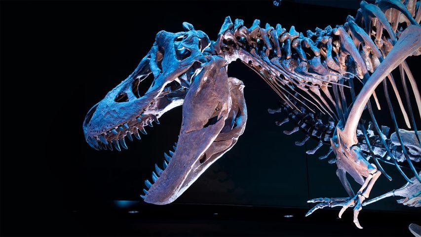 Fossil of a Tyrannosaurus rex skeleton