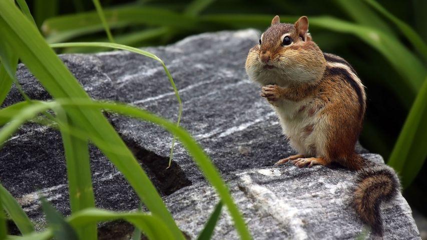 往脸颊中储存食物的花栗鼠