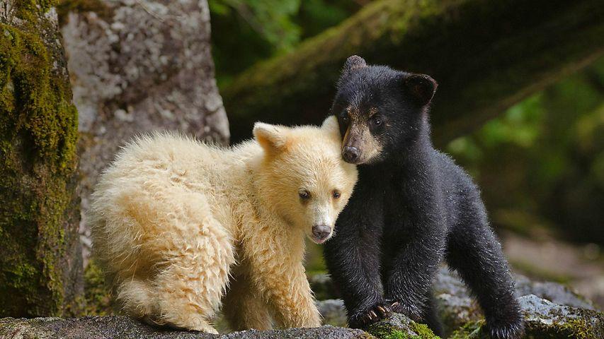 Oseznos Kermode en el bosque templado de la Columbia Británica, Canadá
