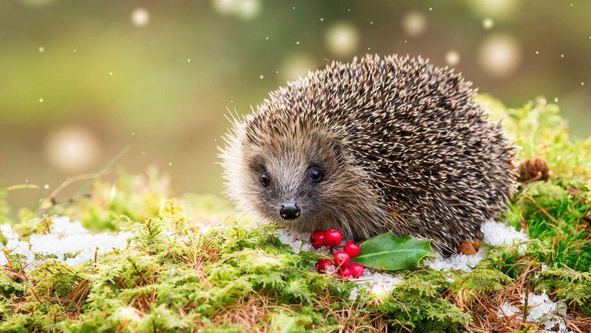 Hedgehog in snowy winter weather, sat on green moss