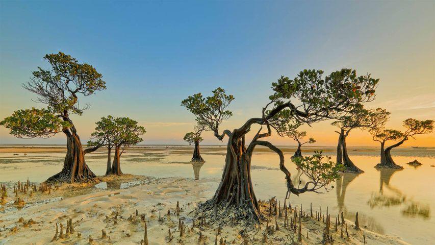 Mangrove trees, Walakiri Beach, Sumba island, Indonesia
