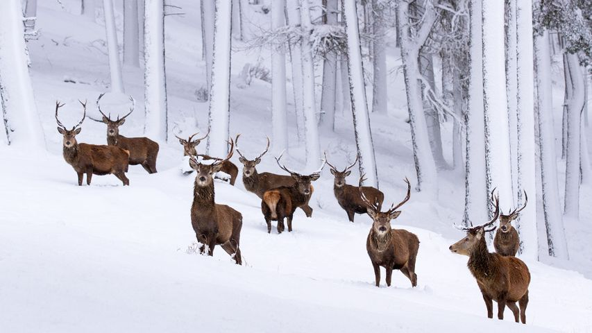 Herd of red deer stags in a snow-covered pine forest, Cairngorms National Park