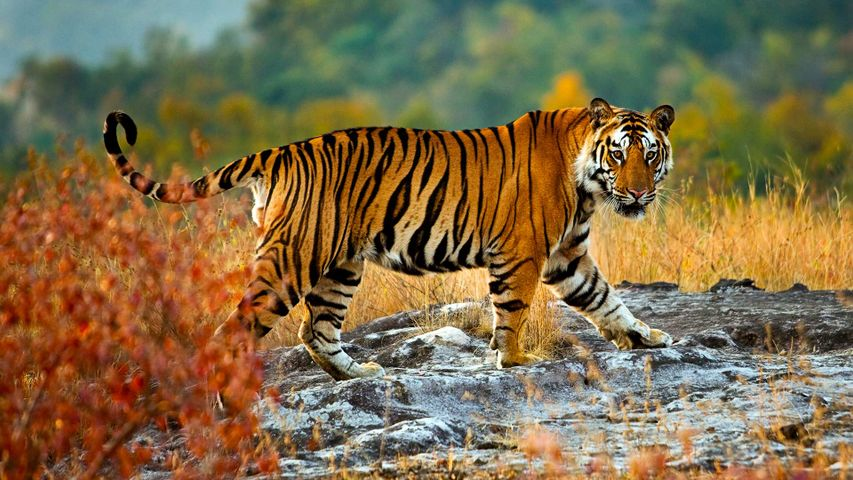 Tiger at the Bandhavgarh National Park, Madhya Pradesh