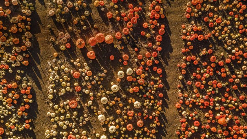Aerial view of a pumpkin patch in Half Moon Bay, California