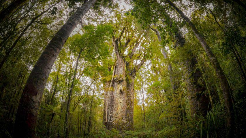 Te Matua Ngahere, a giant kauri tree growing in Waipoua Forest, Northland, New Zealand