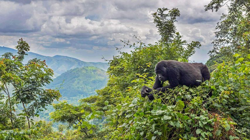 A mountain gorilla eating in a tree in the Bwindi Impenetrable National Park, Uganda