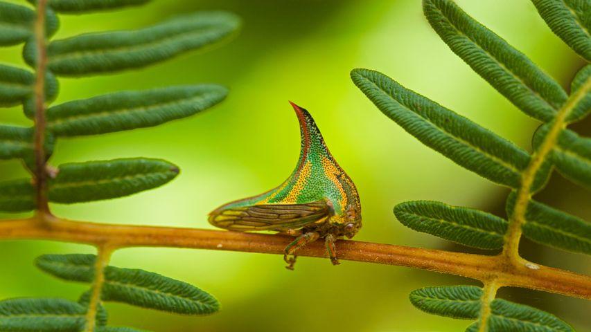 Thorn bug, Pico Bonito National Park, Honduras