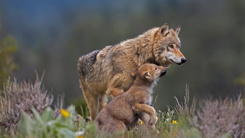 Gray wolf with begging pup, Montana