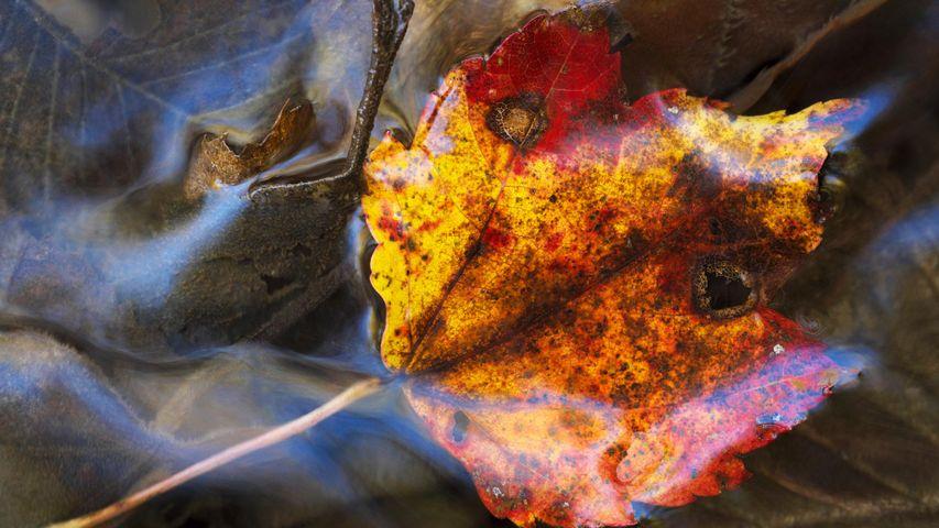 Maple leaf under water; Grenville-sur-la-Rouge, Quebec