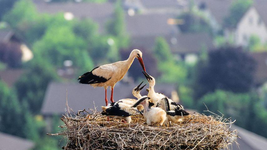 Weißstorch mit Küken im Nest, Deutschland