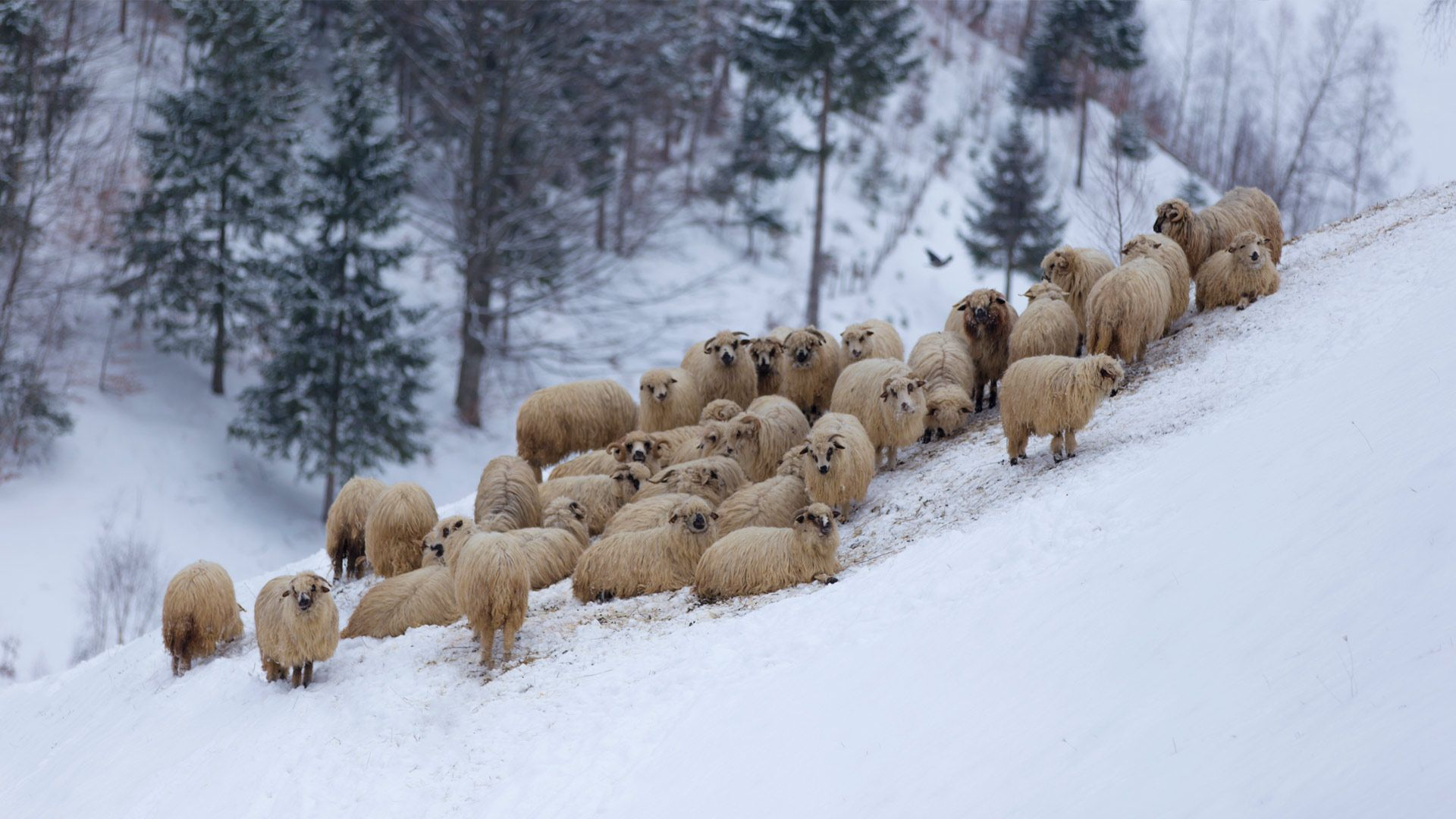 Flock of sheep in the mountains, during winter