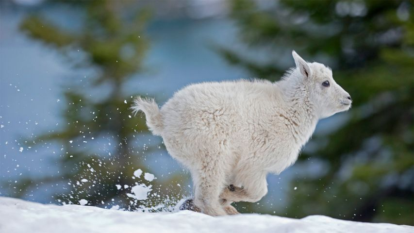 Mountain goat kid in western Montana, USA