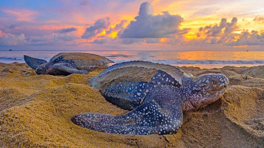 Lederschildkröten-Weibchen bei der Eiablage, Trinidad und Tobago