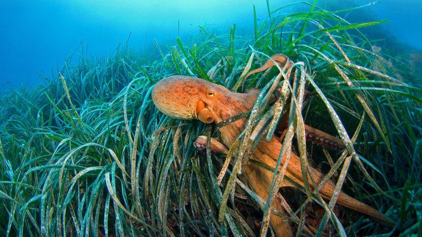 Common octopus, Gulf of Lion, Mediterranean Sea