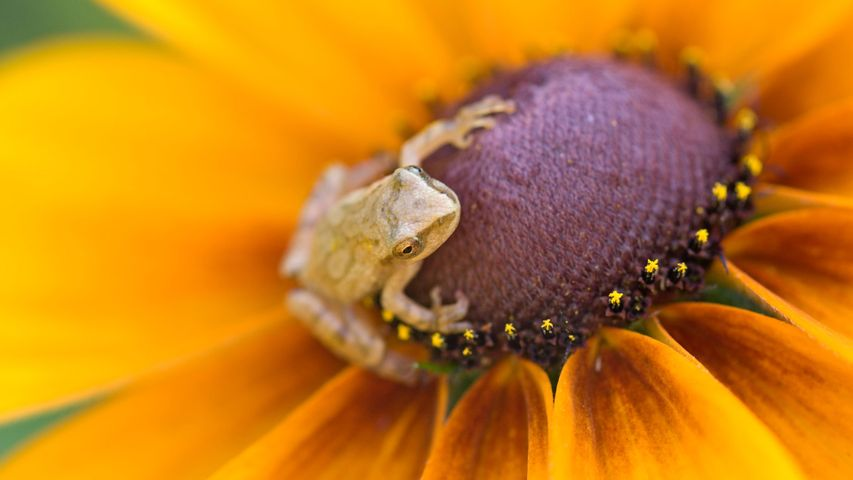 Spring peeper (Hyla crucifer) perched on a black-eyed Susan in a flower garden in Ontario