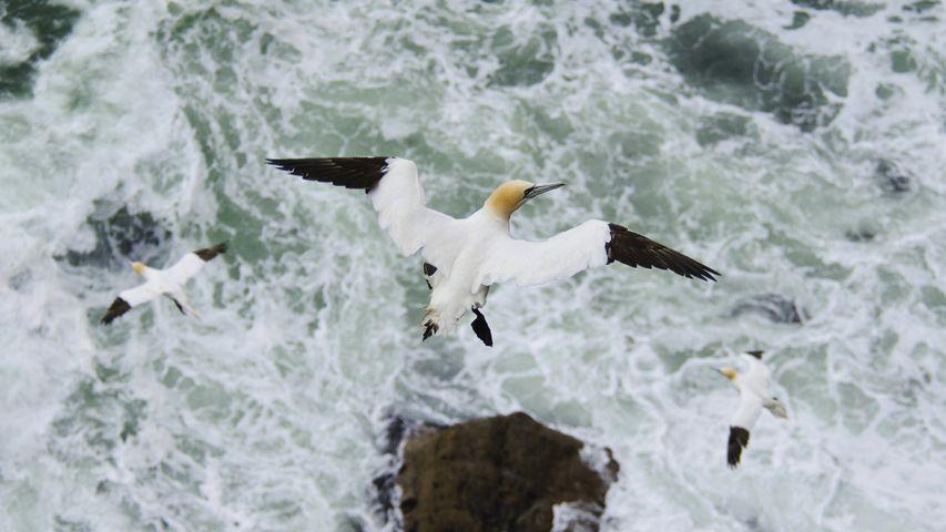 Northern gannet (Morus bassanus) in flight, Troupe Head RSPB Reserve, Aberdeenshire
