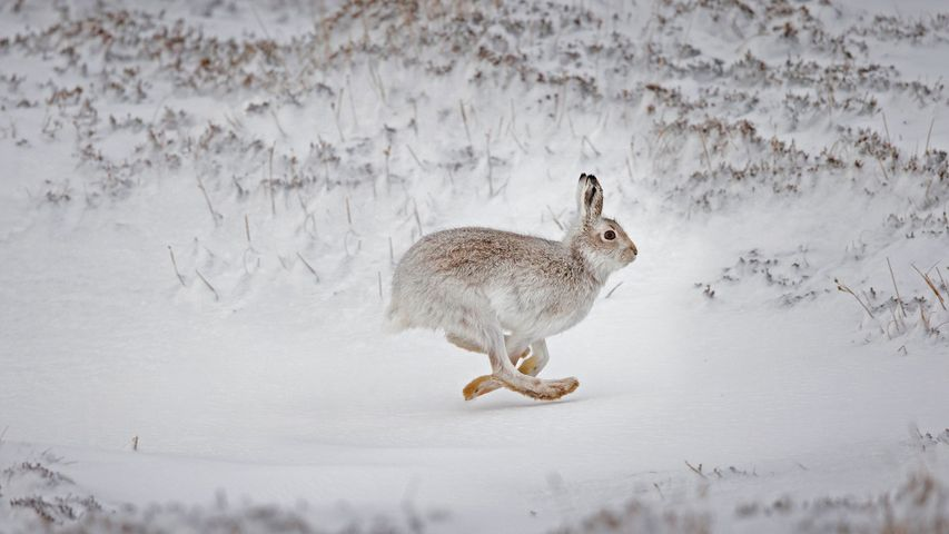 Mountain hare running across snow-covered upland, Scotland
