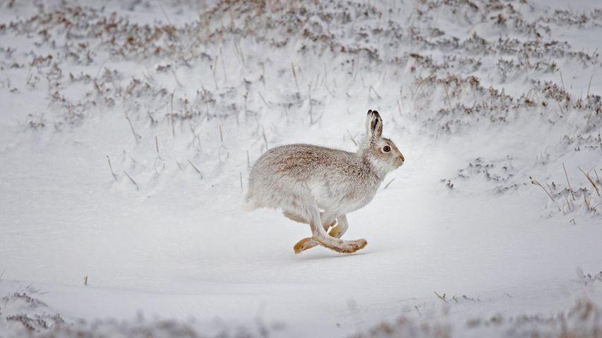 Schneehase im verschneiten Hochland, Schottland